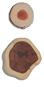 Transversal cuts from Pernambuco trees, one aged 12 years (above), the other 27 years (below)